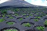 Weinanbau auf Lanzarote: Lavafelder