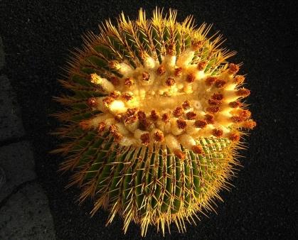echinocactus-ingens-kaktus