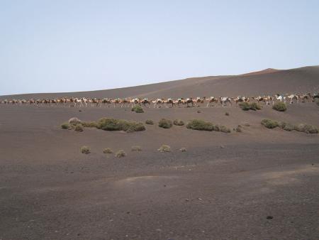 kamele dromedare lanzarote
